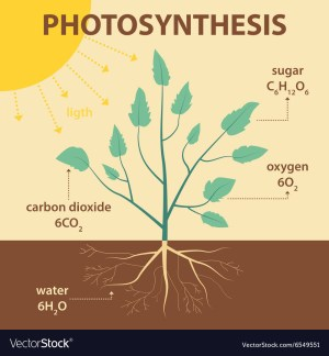 Schematic diagram photosynthesis plant Royalty Free Vector