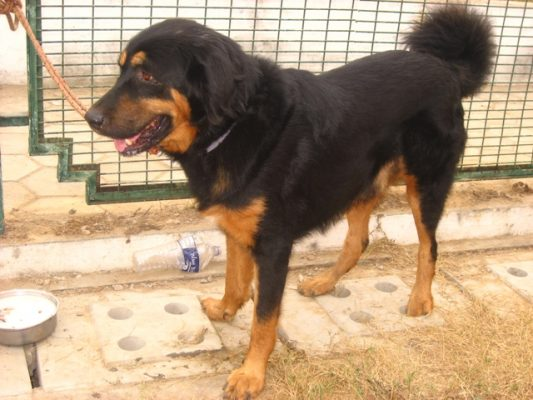 Gaddi Kutta-dog