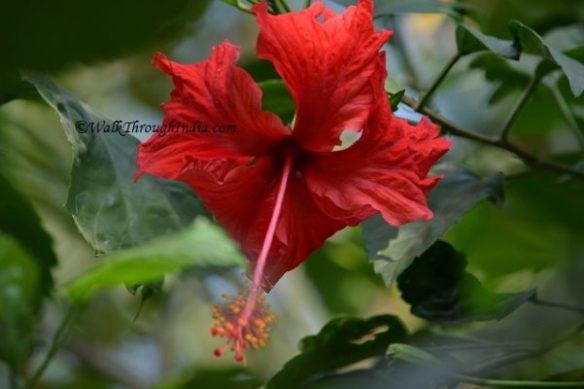 Top 10 Most Beautiful Garden Flowers of India Hibiscus rosa sinensis flowering plant is edible and used for the worship  of devi in India  The flower is an ornamental plant and available in many