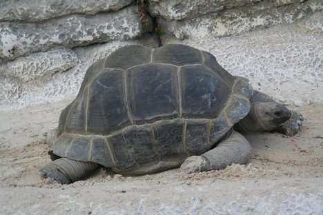 Seychelles giant tortoise (or turtle Aldabra) in captivity at the Crocodile Farm, Pierrelatte, France.