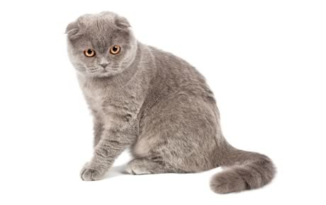 Scottish Fold Cat Breed Information Pictures