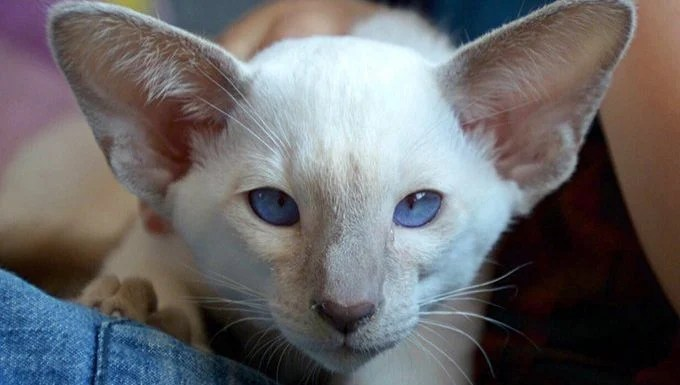 cat with large ears