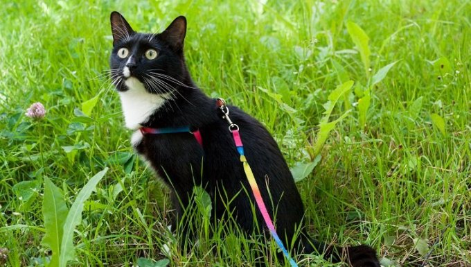 Black-and-white cat, walking on harness, is sitting on green meadow and carefully is looking upwards in summer day.