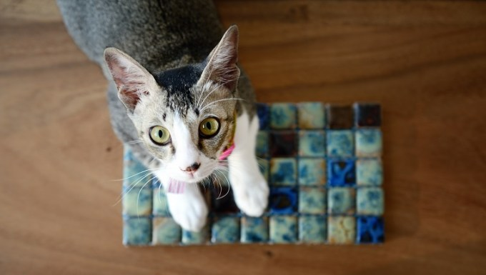 Young Singapura cat looking up at the camera from a table