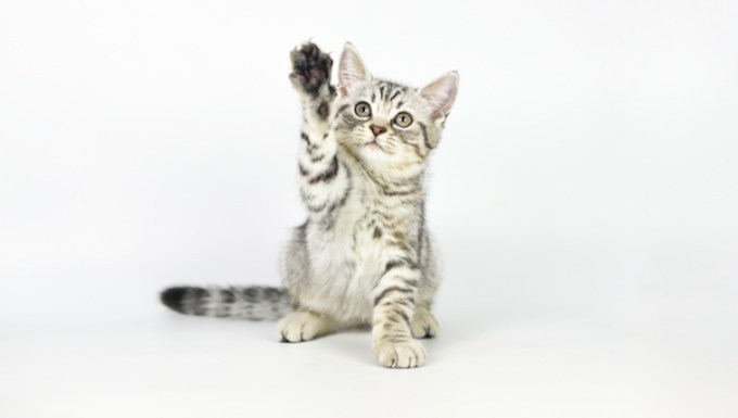 Kitten holding up paw