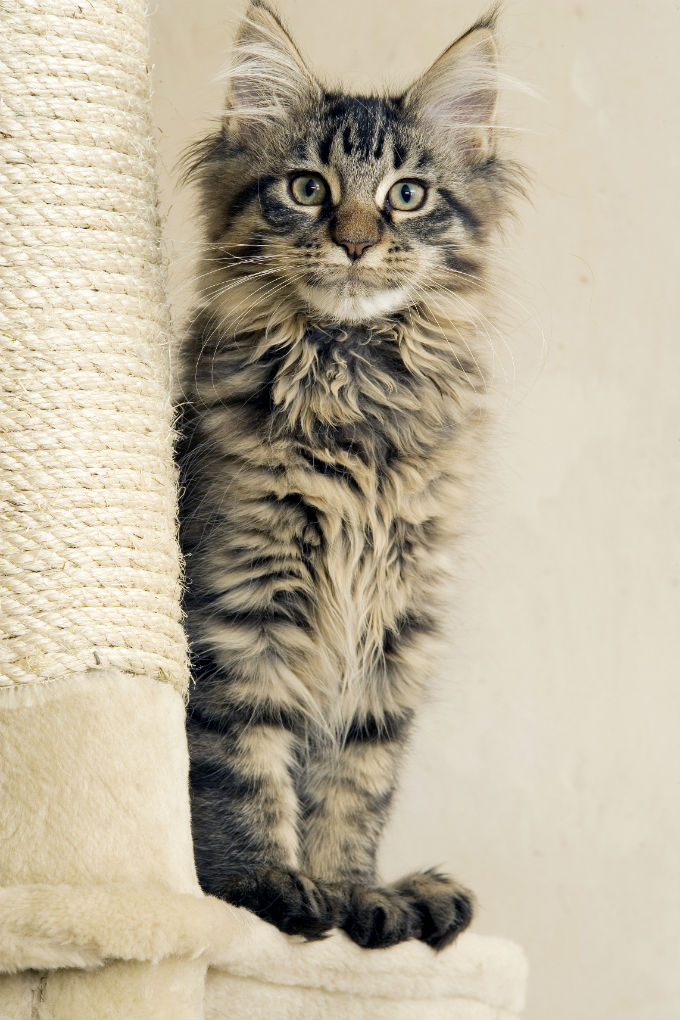 Maine Coon Cat Breed Information Pictures