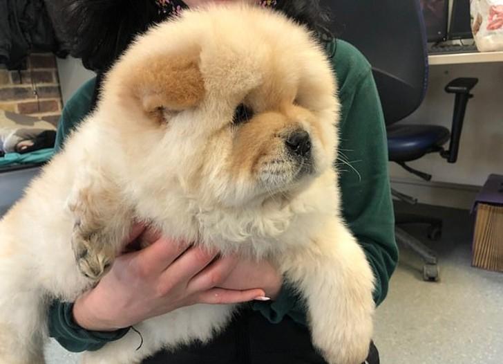 gus 2 - Cachorro sufrió amputación de una pierna tras falta de cuidado de su criador. Hoy busca ser querido