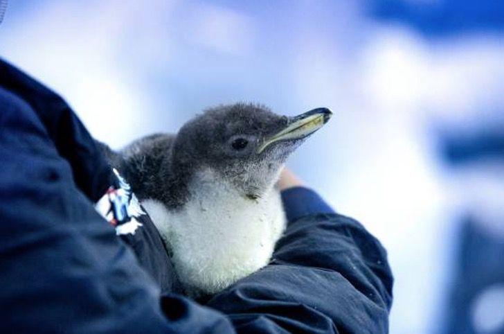 Captura de Pantalla 2021 01 14 a las 16.43.46 - Nació el primer pingüino antártico en acuario de México. El único reproducido en clima cálido