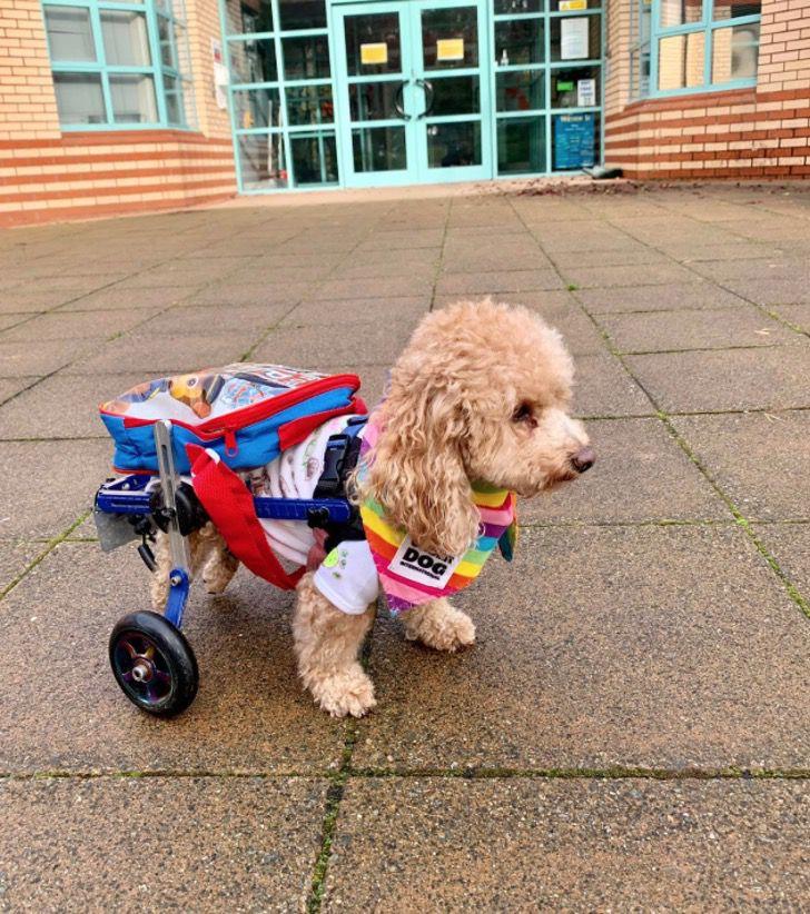 Captura de Pantalla 2021 03 12 a las 13.02.12 - Lo salvaron de un matadero en China y ahora es un perro de terapia. Entrega ayuda en silla de ruedas