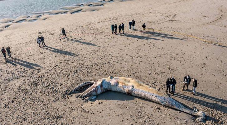Captura de Pantalla 2021 03 29 a las 17.22.36 - Ballena quedó varada por semanas en una playa de Francia. Nadie la descubrió a tiempo para ayudarla