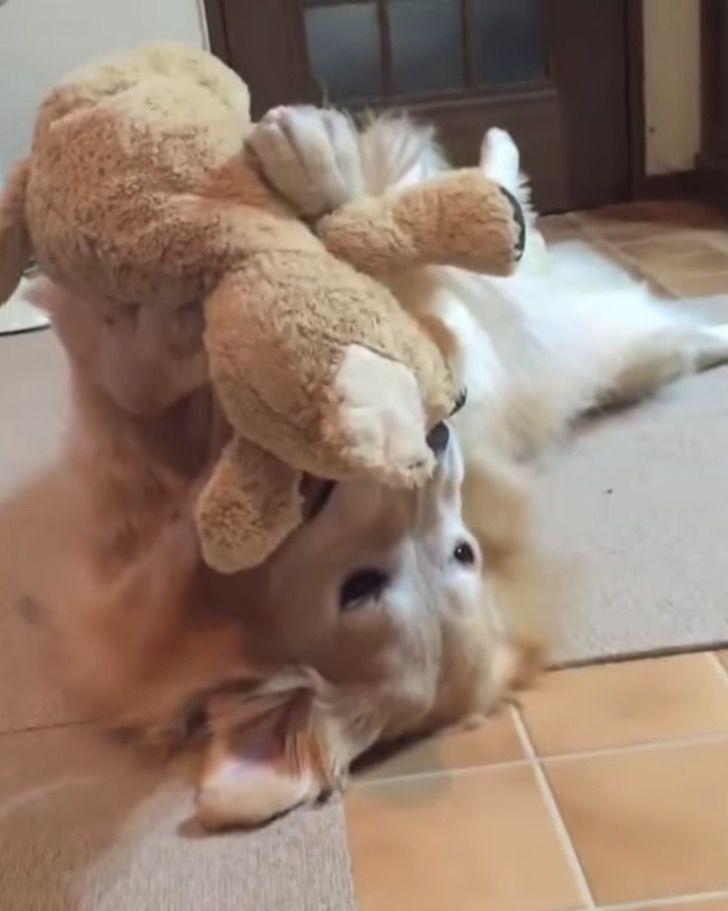 Captura de Pantalla 2021 04 01 a las 18.11.58 - Perrito ama jugar en el suelo con su peluche como si fuera un niño. Lo alza con sus patas al aire