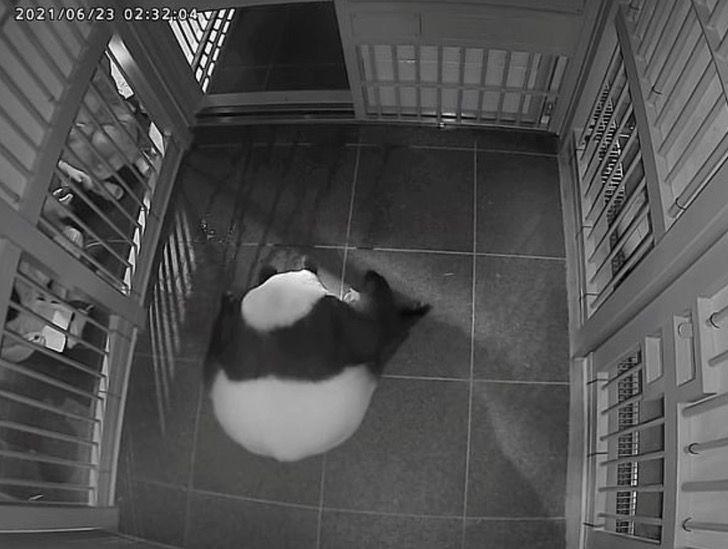 panda nacimiento japon mellizos gemelos extincion china0007 - Japón se regocija: La panda de 15 años, Shin Shin, logró tener gemelos en un zoológico de Tokyo