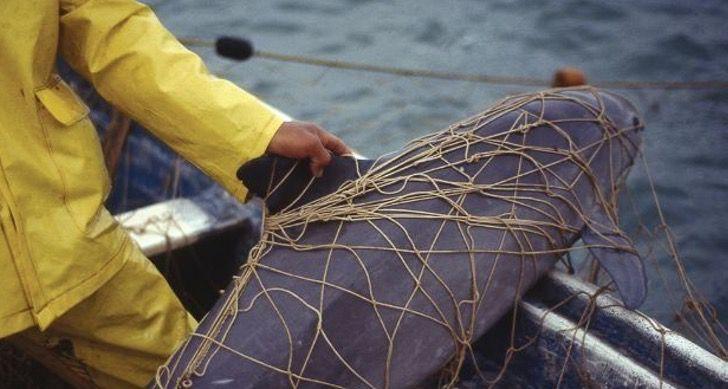 Captura de Pantalla 2021 07 23 a las 14.58.04 - Unesco reiteró el peligro que corre la vaquita marina y su hábitat en México. Quedan 10 ejemplares