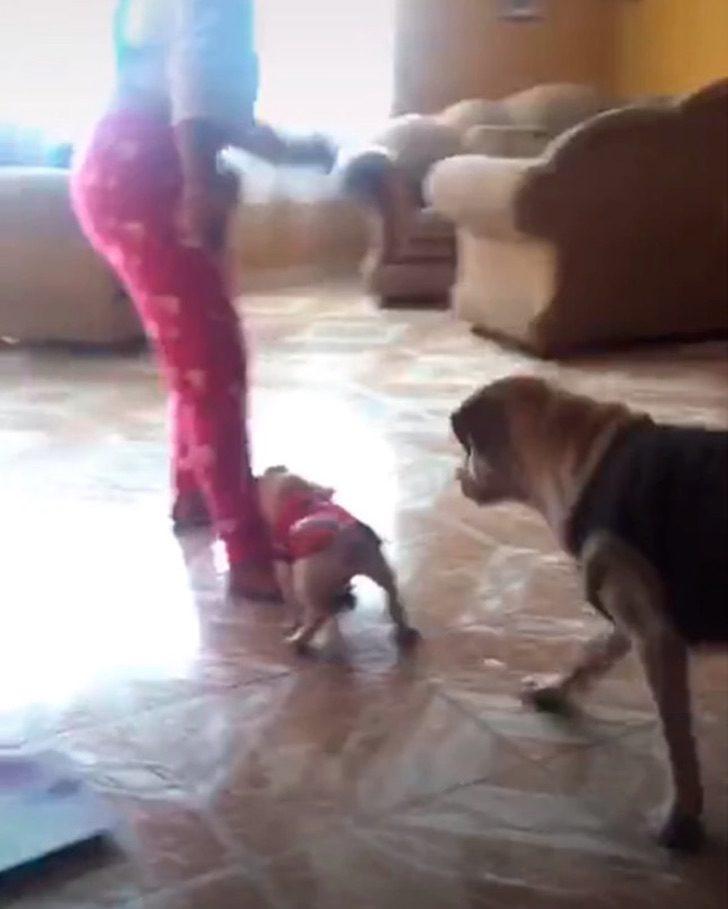 """Captura de Pantalla 2021 08 26 a las 17.14.11 - Mamá labradora """"regaña"""" a su cachorro por intentar morder a su humana. Le enseña desde pequeño"""
