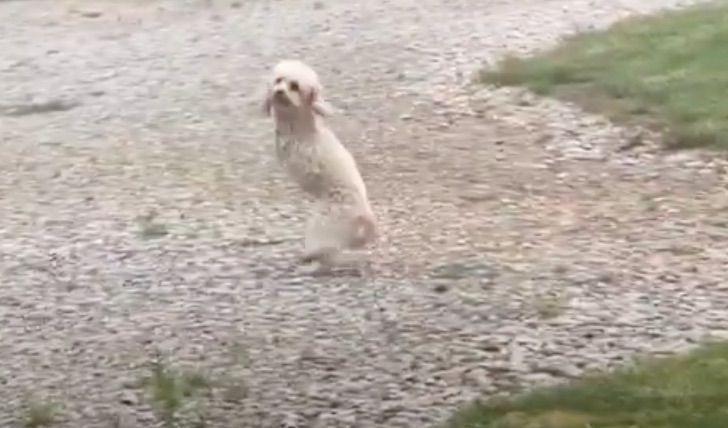 perrito dos patas logra subir escalera saltitos esfuerzo 1 - Perrito con sólo dos patas logra subir una escalera a punta de saltitos y esfuerzo. Logró su meta