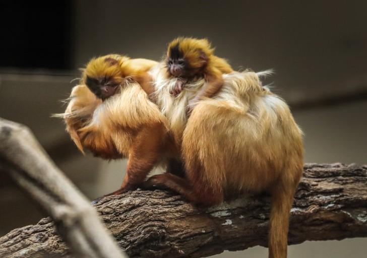 mico leao dourado g1 - Nacen gemelos de tití león dorado en zoológico de Brasil. Hermosos primates en peligro de extinción