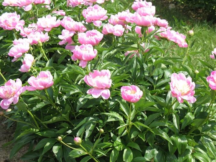 Peony 'Bowl of Beauty-Summer Flowers