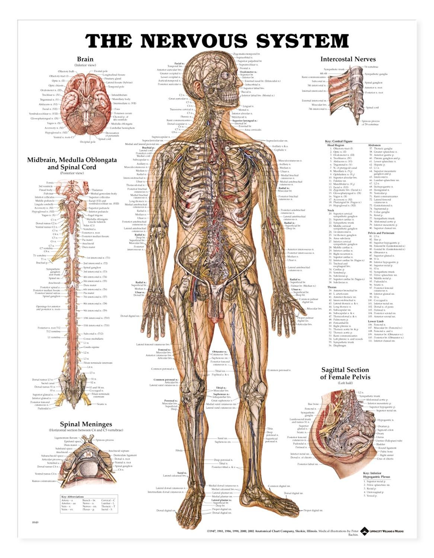 Human Nervous System Anatomical Chart