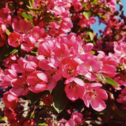 Buy Flowering Trees for Sale at the Lowest Prices at Ty Ty Nursery Flowering Crabapple Trees