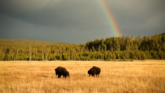 Bison in a field, with a rainbow in the sky.