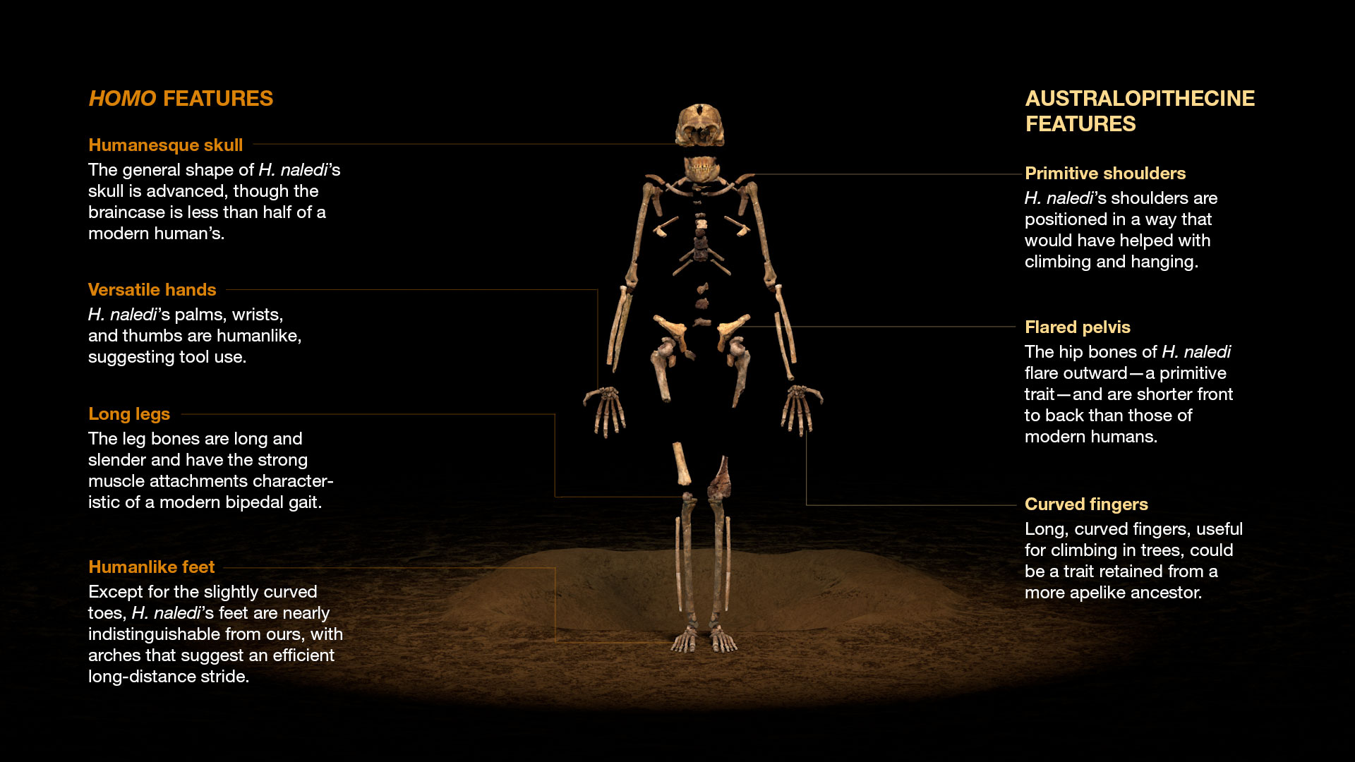 Is Homo Naledi A New Species Of Human Ancestor Kids News