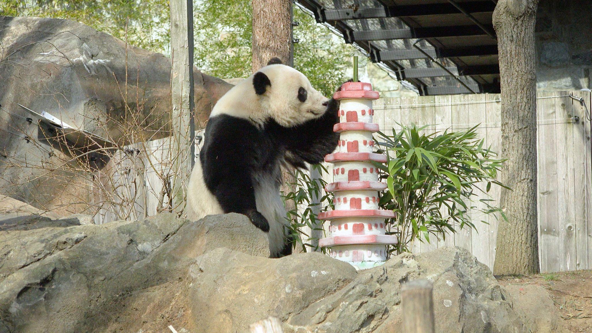 National Zoo Giant Panda Bao Bao Begins Her New Life In