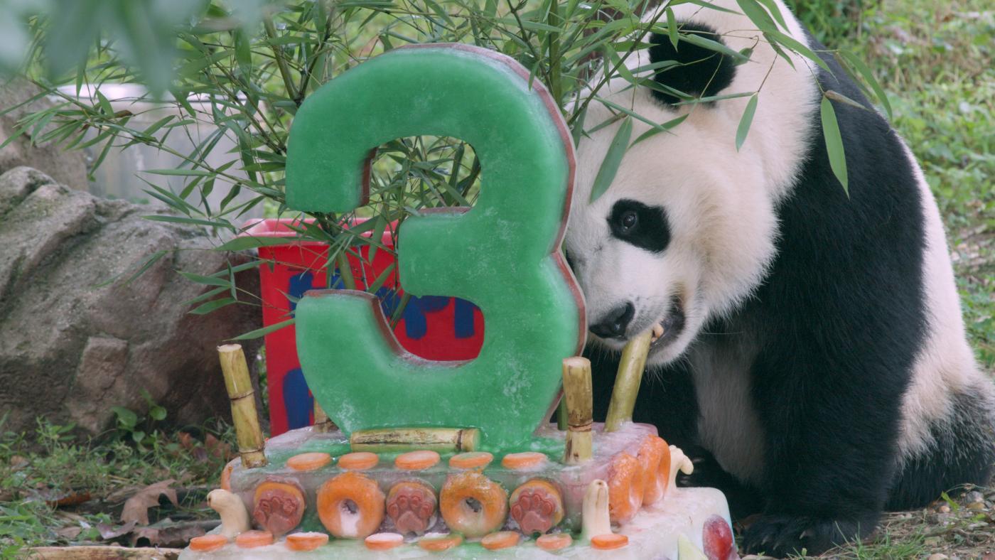 National Zoo S Adorable Giant Panda Bei Bei Turns Three