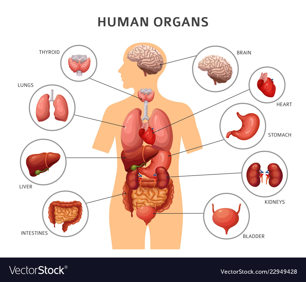 Human Body Internal Organs Stomach And Lungs Vector Image