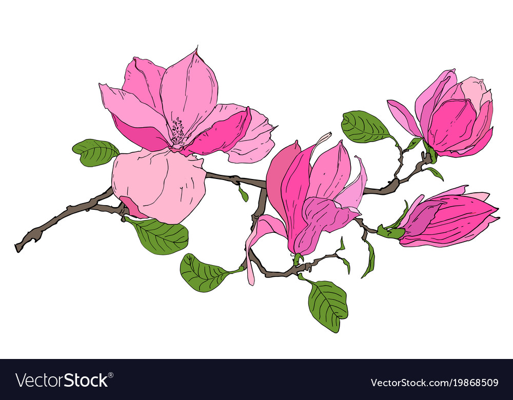 Branch with magnolia flowers Royalty Free Vector Image Branch with magnolia flowers vector image
