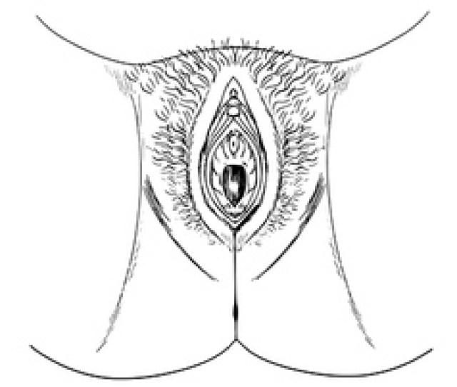 Human Female Genitalia Outline External Vector
