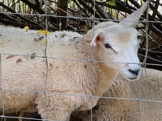 Close up picture of a sheep Samsung Galaxy S21 Ultra