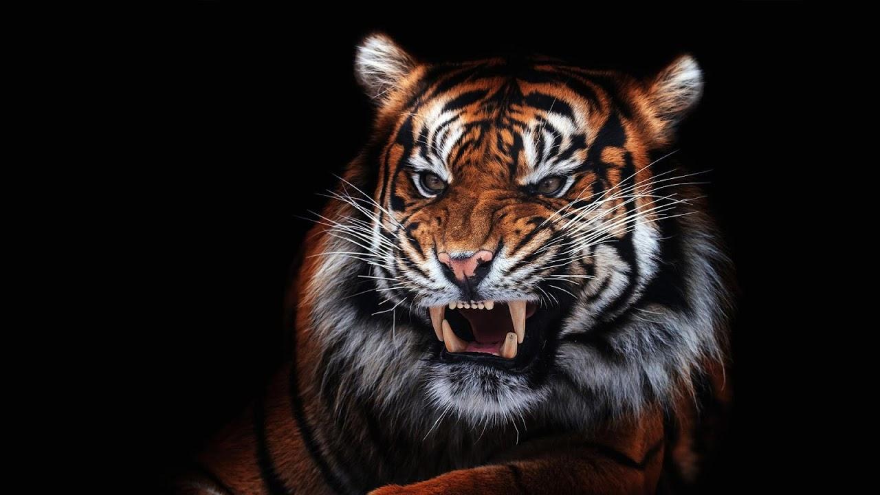 Tiger Wallpaper Hd 16 0 Download Android Apk Aptoide