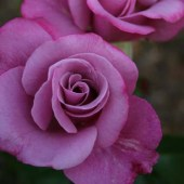 Melody Parfumee rose
