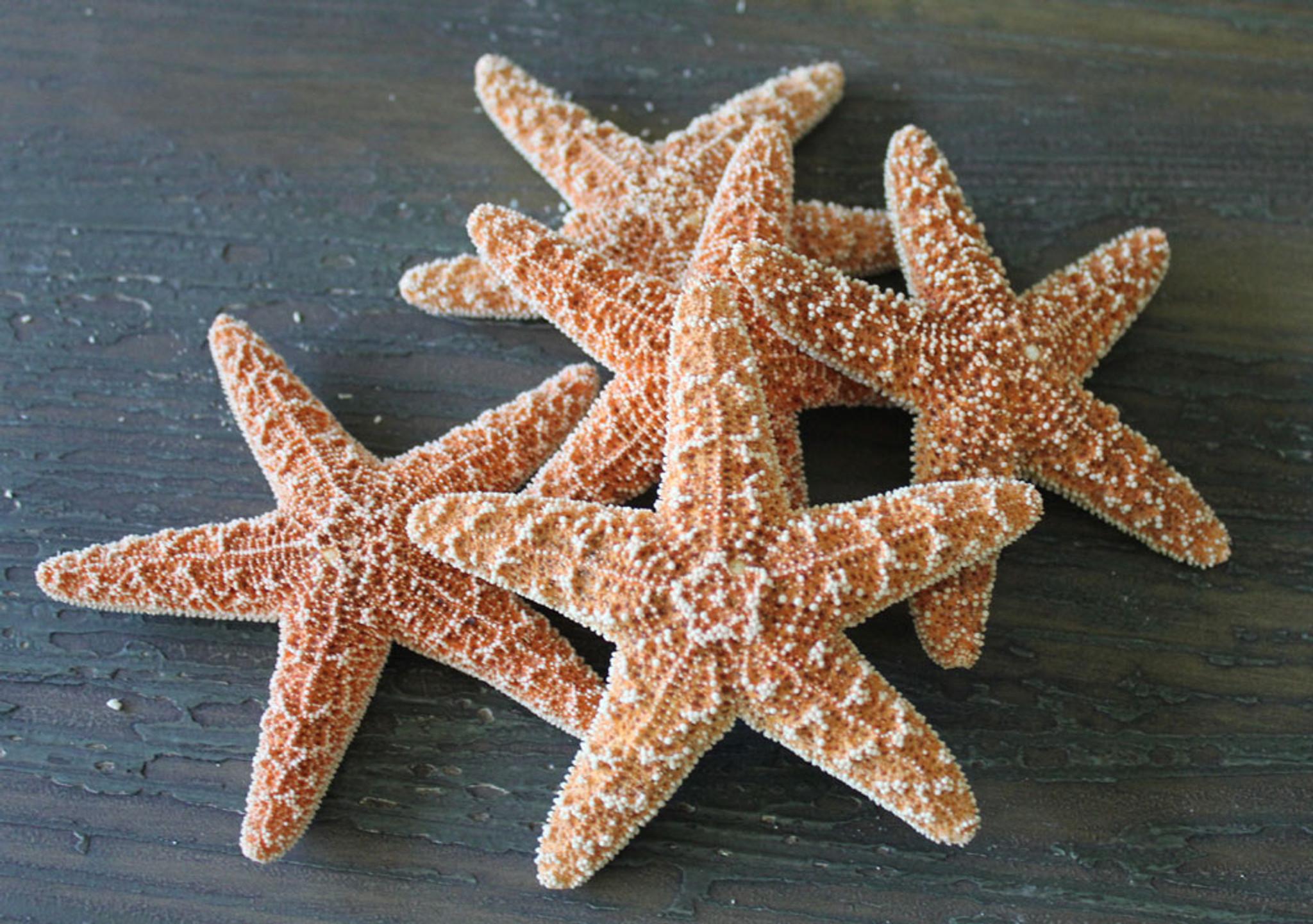 TIny 1 2 Sugar Starfish Sea Stars Natural Sealife