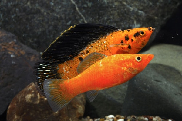 Image result for sailfin molly