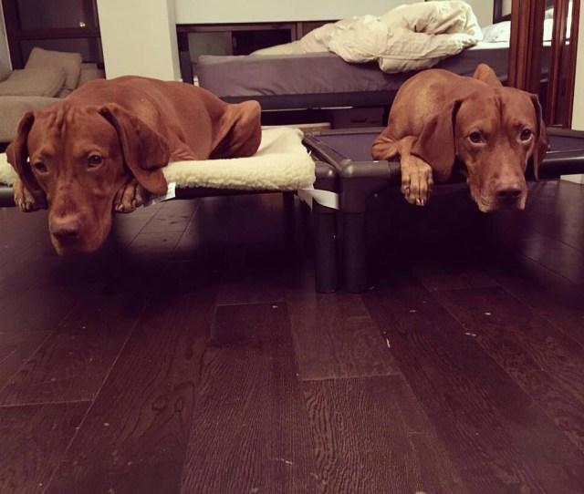 Vizslas On Matching Kuranda Dog Beds