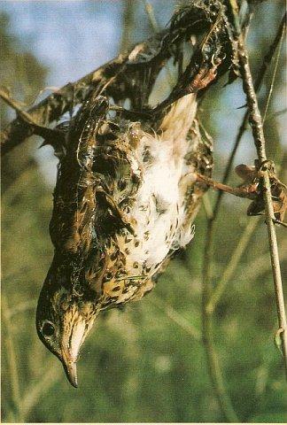 El parany es una forma cruel e ilegal de cazar pajarillos llenando de pegamento las ramas donde se posan.