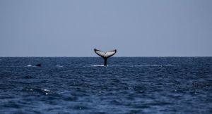 Des kayakistes tombent nez à nez avec une baleine à bosse - vidéo