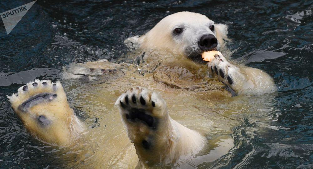 Vers l'extinction des ours polaires d'ici 2100, prévient une étude
