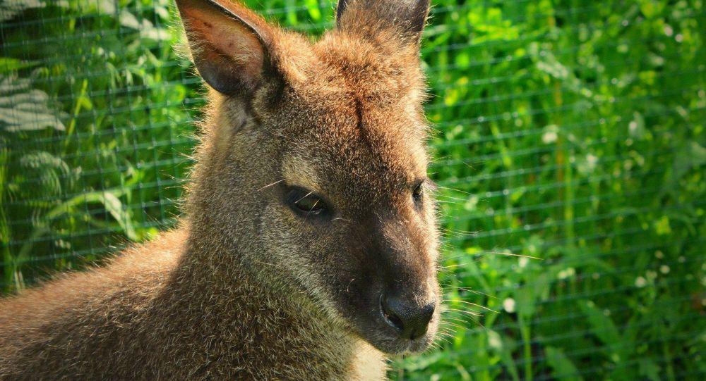 Il voit un wallaby surgir devant sa voiture dans une forêt de Loire-Atlantique – vidéo