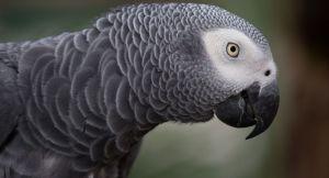 Des perroquets placés en isolement au Royaume-Uni après avoir insulté des visiteurs