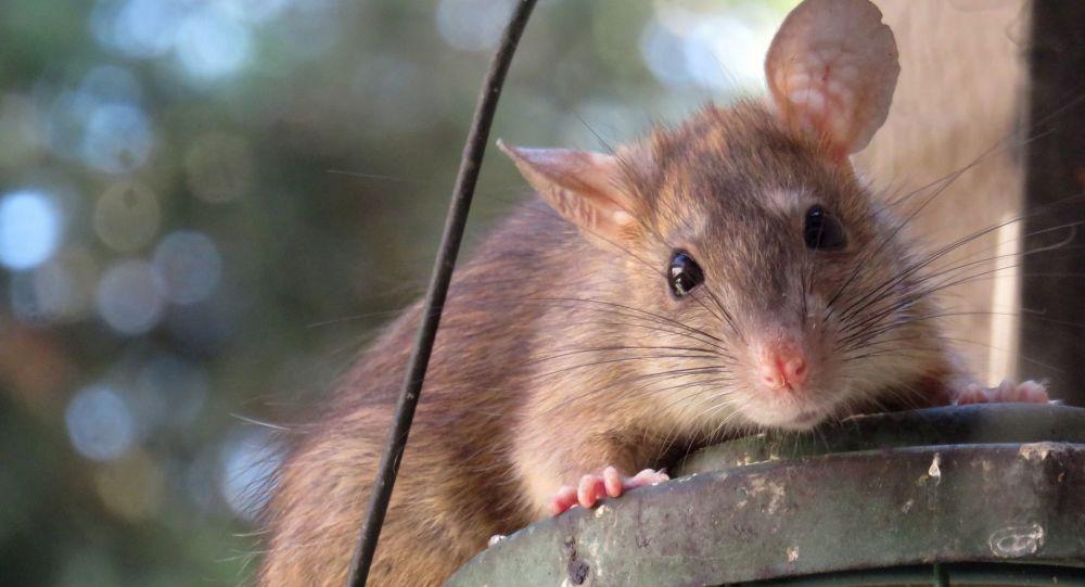 Un rat aux super pouvoirs primé au Royaume-Uni