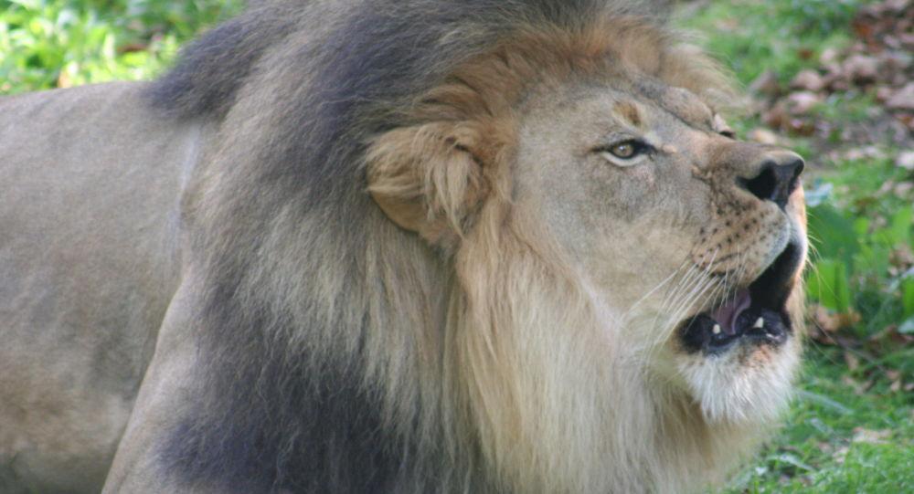 Il ouvre sa vitre pour caresser un lion et passe à deux doigts de la mort – vidéo