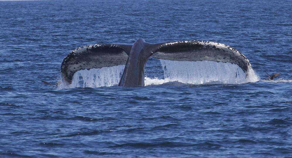 Une baleine à bosse protège son petit et envoie une plongeuse à l'hôpital