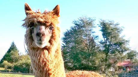 """W25, el poderoso """"superanticuerpo"""" de alpaca descubierto por científicos chilenos capaz de neutralizar el coronavirus"""