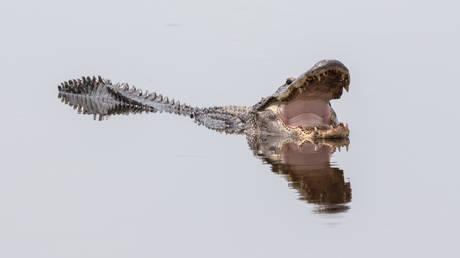 5c49eb18fc7e93af268b464f Alligators freeze in N Carolina swamp, only leaving nostrils above ice (VIDEOS)
