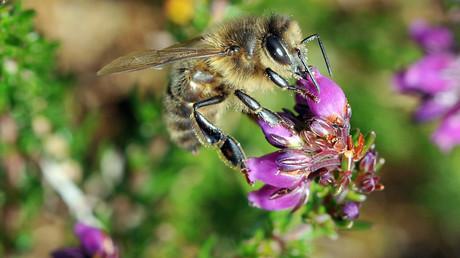 Retour des néonicotinoïdes «tueurs d'abeille» : une décision gouvernementale controversée