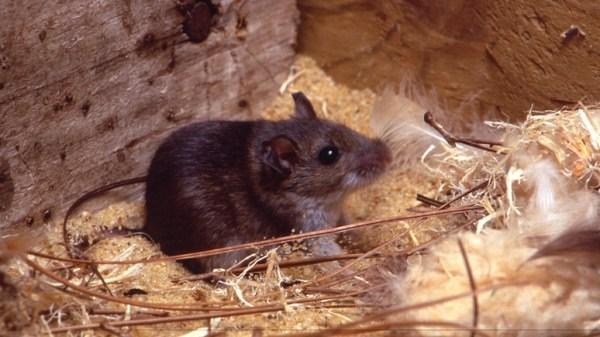 Smithsonian: российский памятник лабораторной мыши даст ...