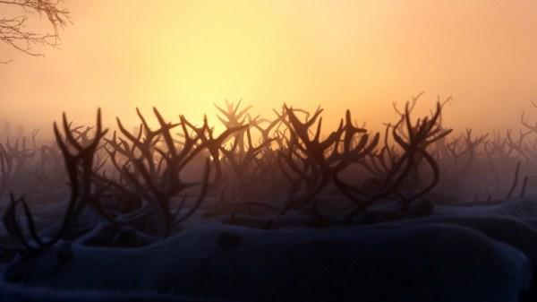 Bild: северные олени Таймыра становятся жертвами ...