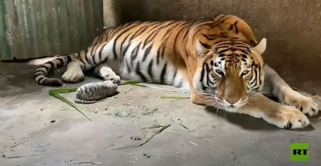 ولادة نمر بنغالي أبيض بحديقة الحيوان في نيكاراغوا #RT_Arabic